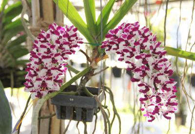 Các loại hoa lan rừng quý hiếm bạn đã biết?