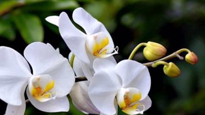 Hoa lan hồ điệp trắng - Mua hoa lan hồ điệp trắng ở đâu?