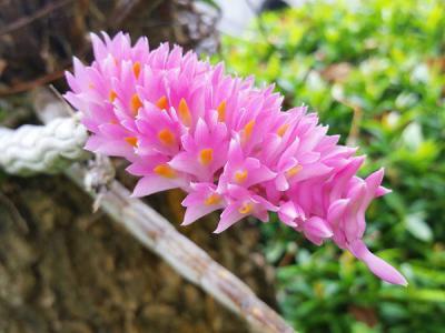 Lan báo hỷ - loài hoa đại diện cho sự tươi vui, phấn khởi