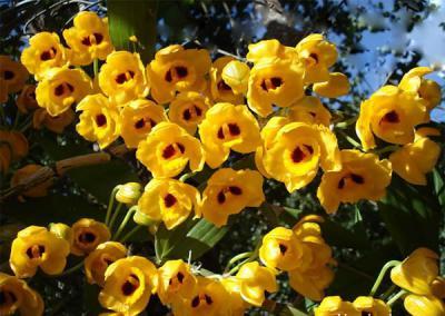 Lan phi điệp vàng – loài hoa mang sự quyến rũ kì lạ