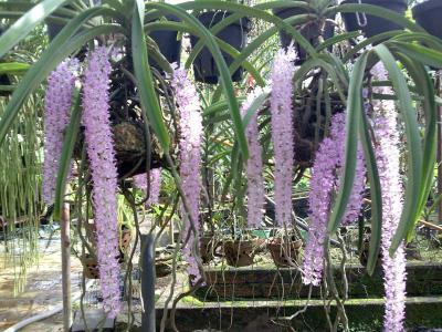 Tại sao gọi là hoa lan đuôi chồn?